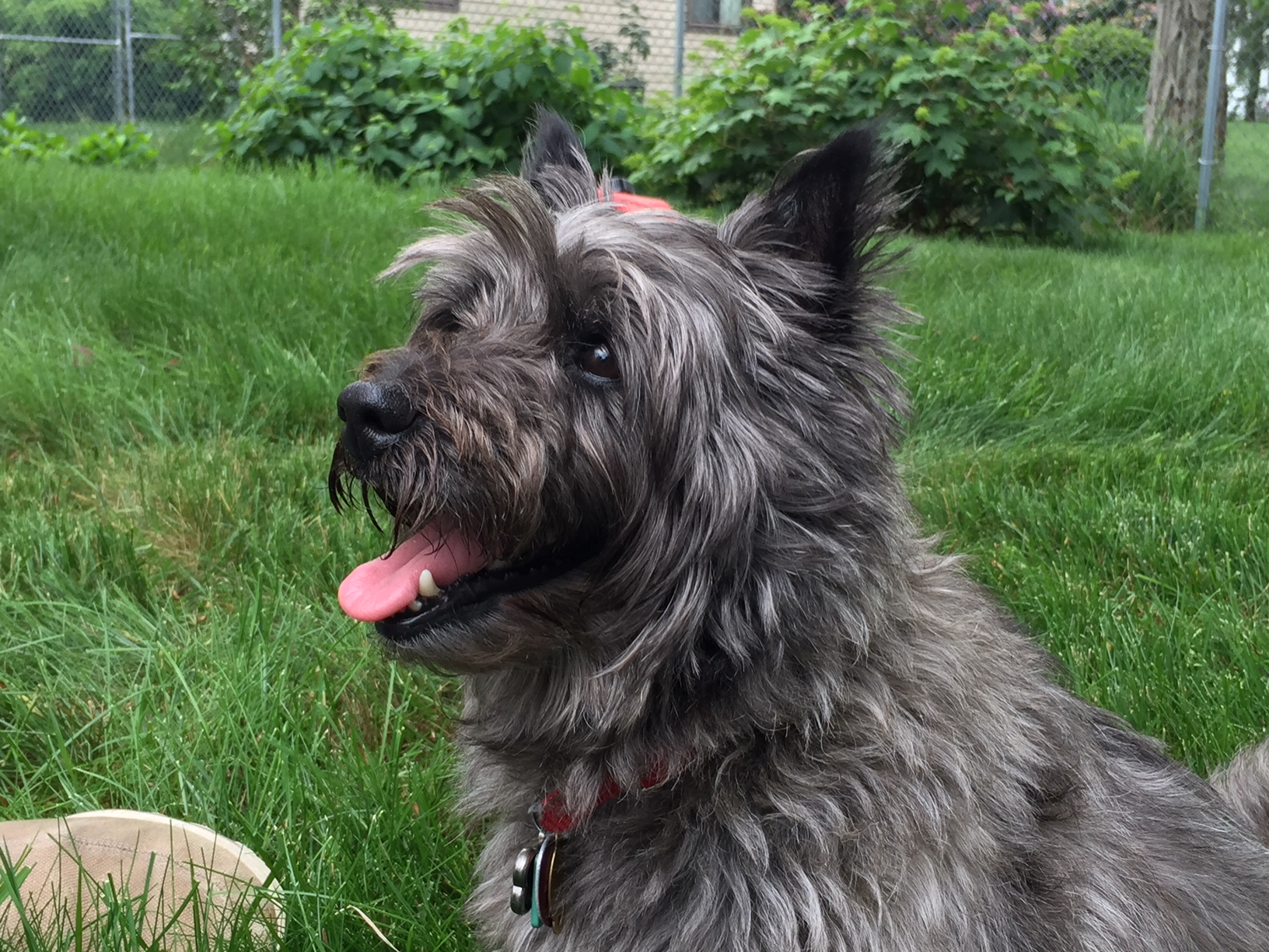Close up shot of a Cairn Terrier looking to the right on a grassy lawn.