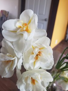 scented double cup daffodils