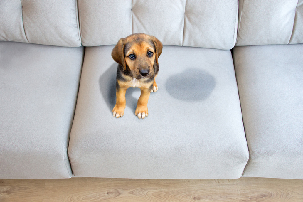 small brown and black puppy on couch next to pee stain