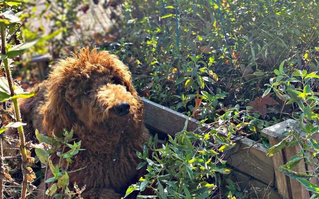 Dog Safe Gardening Tips